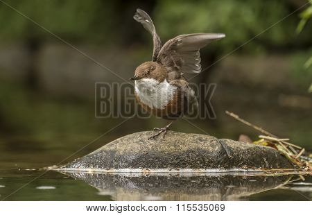 Dipper perched on one leg on a rock by a stream with wings open