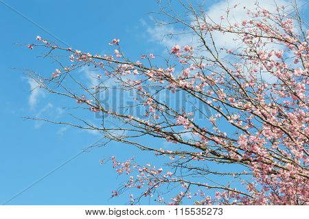 Pink Blossoming Branches With Spring Blooming Apple Tree Flowers