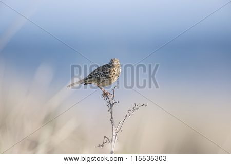 Meadow pipit perched at the top of a small plant