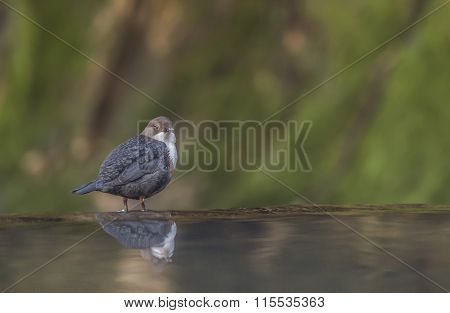 Dipper perched on a rock in a stream reflected in the water