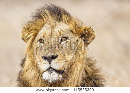 portrait of a male lion in savannah