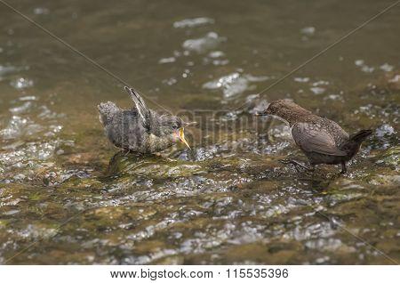 Dipper in a stream feeding its baby