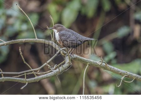 Dipper perched on a branch above a stream