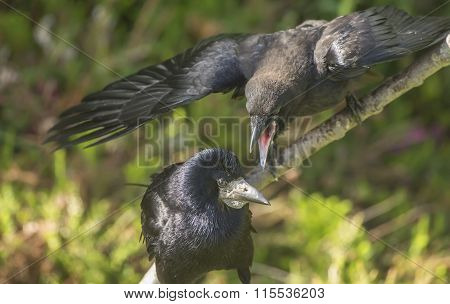 Rook Corvus frugilegus hungry juvenile and adult