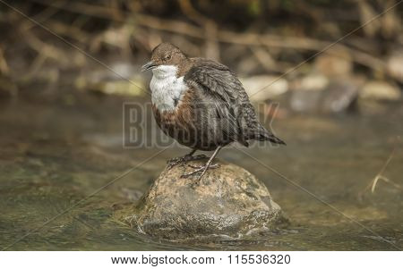 Dipper perched on a rock in a stream