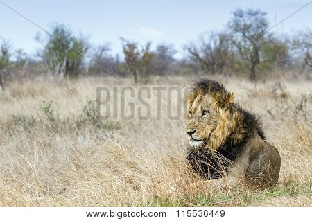 male lion in savannah, South Africa