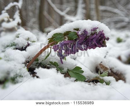 Corydalis Under Snow