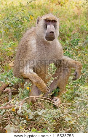 A yellow baboon (Papio cynocephalus) sitting, Amboseli National Park, Kenya