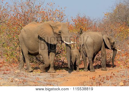 Family of African elephants (Loxodonta africana), Kruger National Park, South Africa