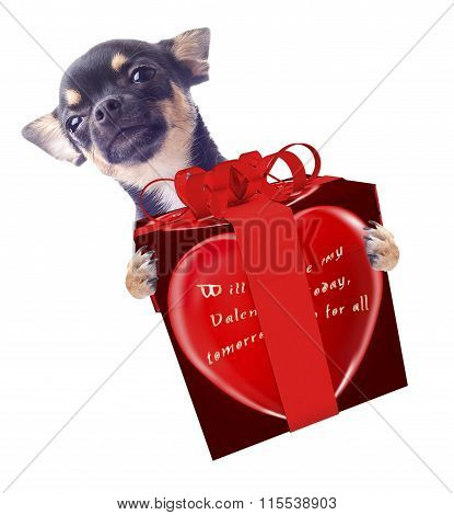 Cute Dog Chihuahua With Love In The Air Give A Valentine Gift