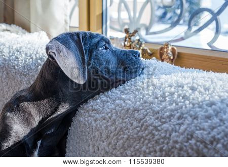 Cane Corso Dog Looking Outside The Window