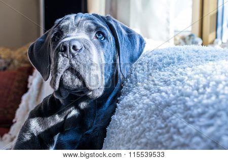 Adorable Cane Corso Dog, Closeup Shot