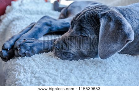 Closeup Of Italian Cane Corso Dog