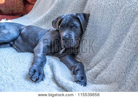 Sweet Cane Corso Puppy Lying Down