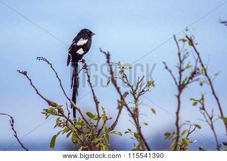 Magpie Shrike In Kruger National Park