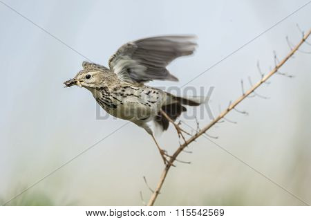 Meadow pipit flying from a twig with bugs in its beak