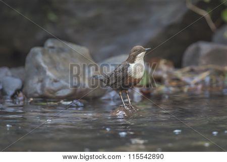 Dipper perched on a rock in a stream