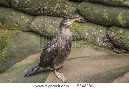 Cormorant sitting on a rock, close up