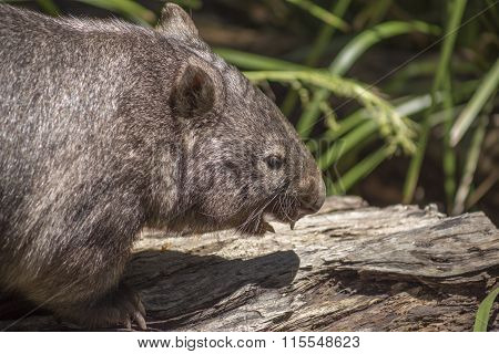 Wombat showing teeth