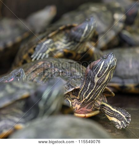 Many red eared slider turtles sitting on rock