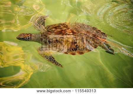 Green Turtle Swiming Under Water