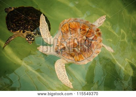 Two Green Sea Turtles Under Water