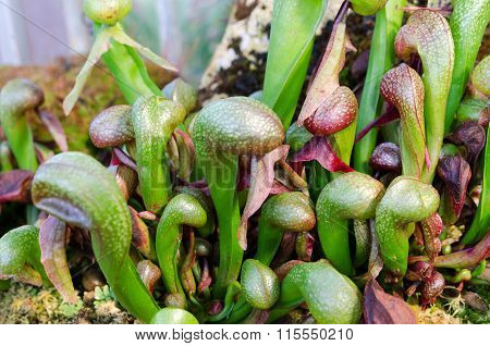 Darlington California One Carnivorous Plant That Eats Insect
