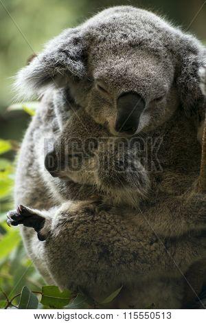 Mother and joey koala cuddling