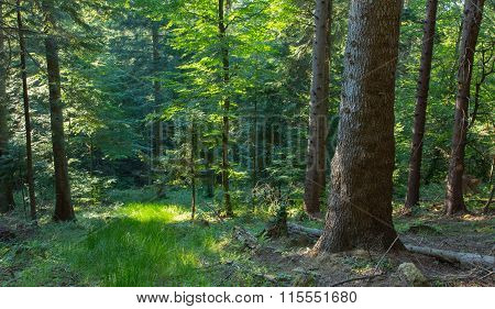 Summer Sunset In Bieszczady Mountain Coniferous Stand