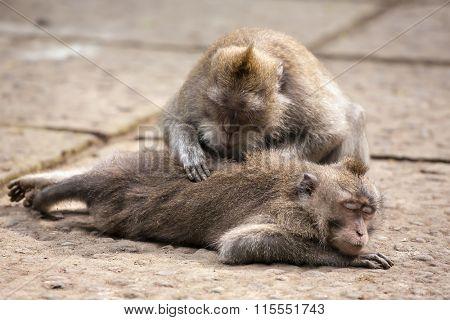 Rhesus monkey grooming spa in monkey forest, Bali, Indonesia