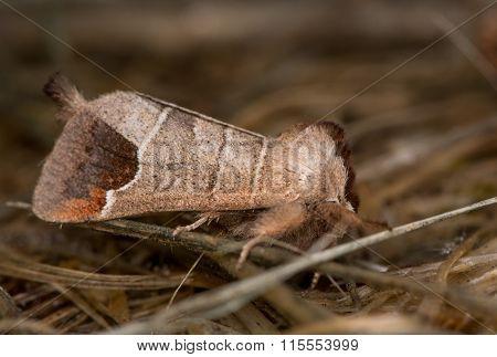 Chocolate tip moth (Clostera curtula)