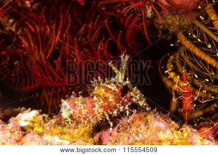 Marbled Shrimp (saron Marmoratus)