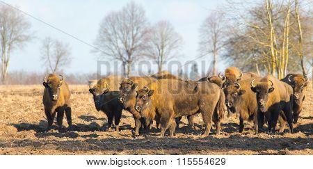 European Bison Herd In Winter