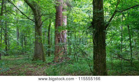 Natural Mixed Stand Of Bialowieza Forest