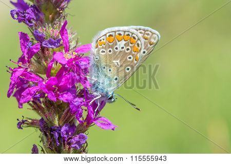 Butterfly On A Pink Flower.