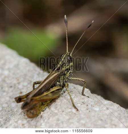 Rufous grasshopper (Gomphocerippus rufus)
