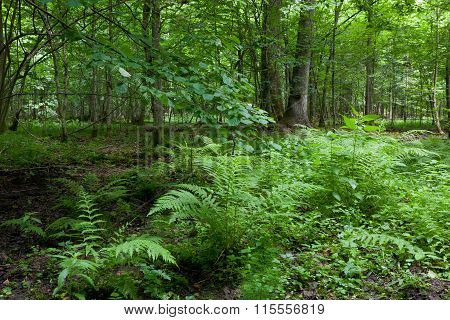 Fern Bunchs In Summer Forest Stand