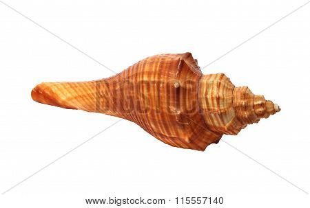 Small Oblong Shell On A White Background
