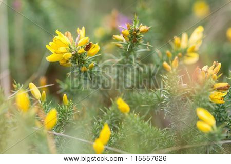 Western gorse (Ulex gallii) in flower