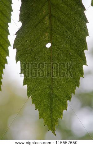 Sweet chestnut (Castanea sativa) leaf