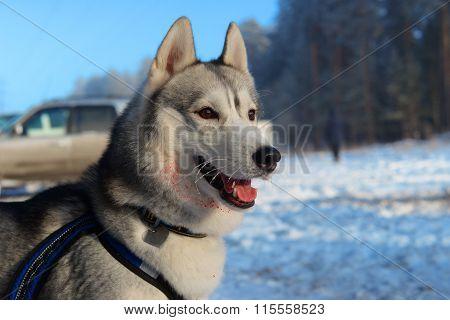 Wounded Huskies