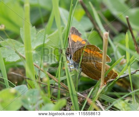 Brown hairstreak (Theca betulae) on grass
