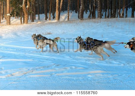 Siberian husky sled runs