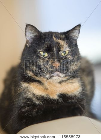 Portrait Of A Three Colored Old Cat