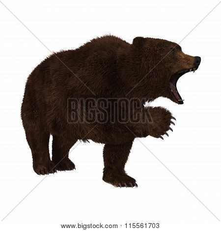 Grizzly Bear On White