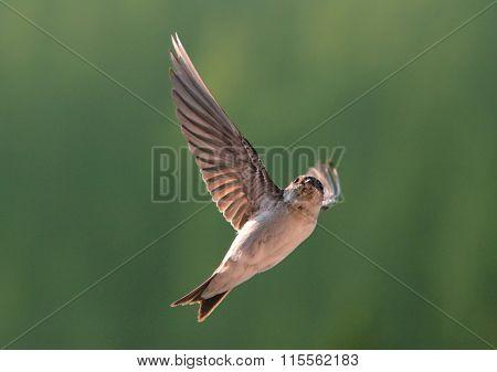 Bird, Swallow On Flying