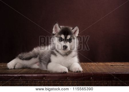 Cute Puppy Siberian Husky