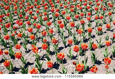 Fringed Tulips On The Flowerbed