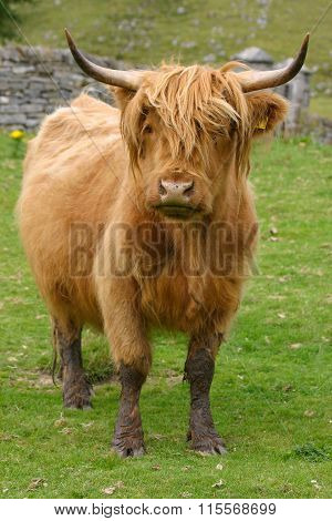 Highland Aberdeen Angus Cow Grazing Green Grass