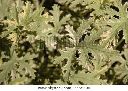 Variegated Geranium Leaves